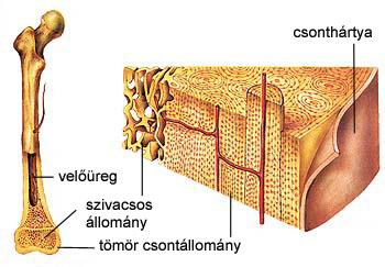 Az emberi csont, belső szerkezete.
