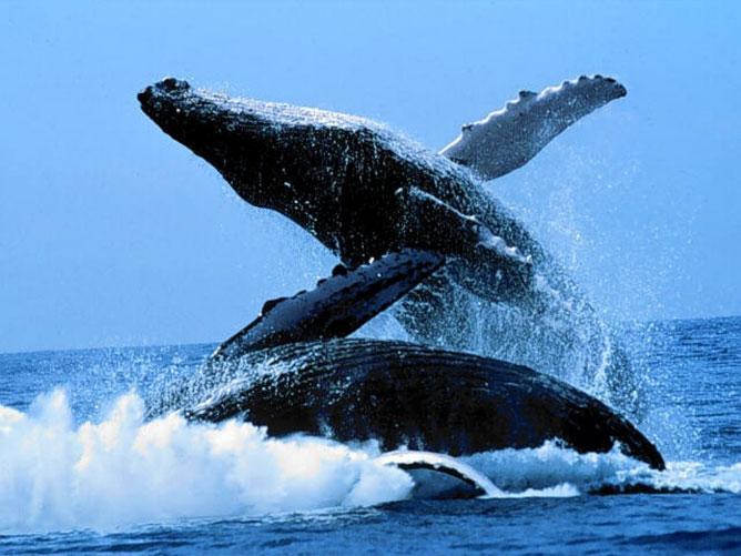 Hosszúszárnyú bálnák.