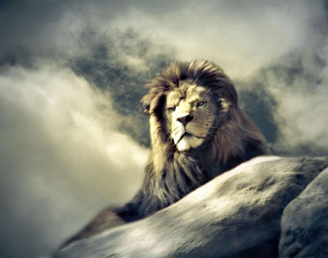Nyugodt oroszlán a hegytetőn.