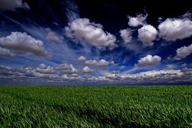 Zöld búzamező bárányfelhős kék éggel .