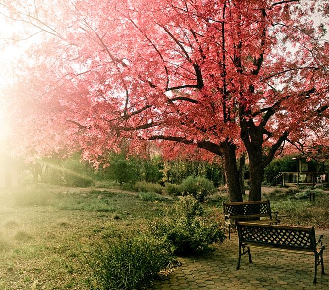 Kert színes levelű fával.