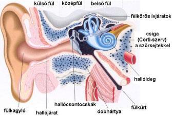 Az emberi fül.
