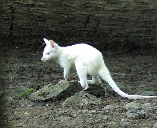 Albínó Benett-kenguru.