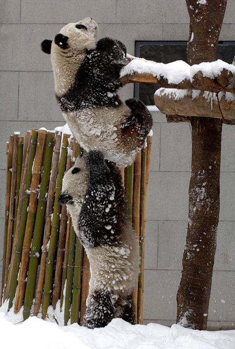 Egymást segítő pandák.