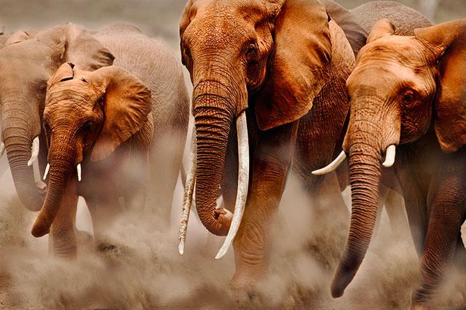 Elefántok.