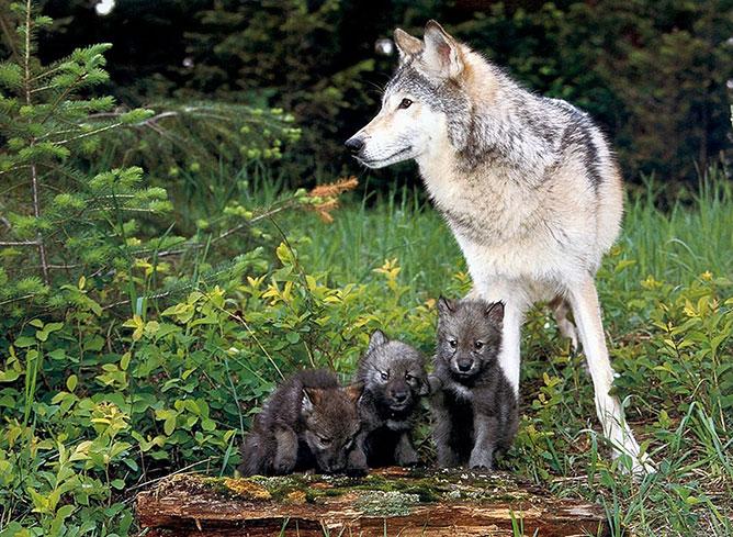 Farkaskölykök.