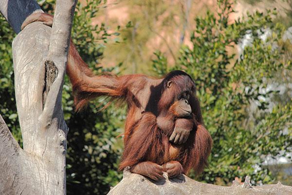 Borneói orangutan.