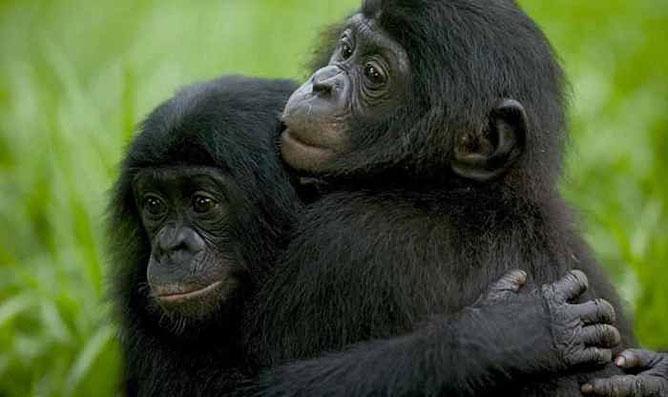 bonobó majmok .