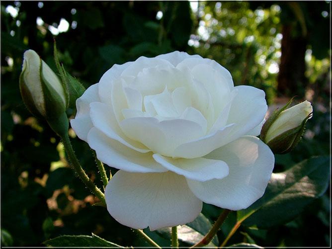 fehér rózsa.