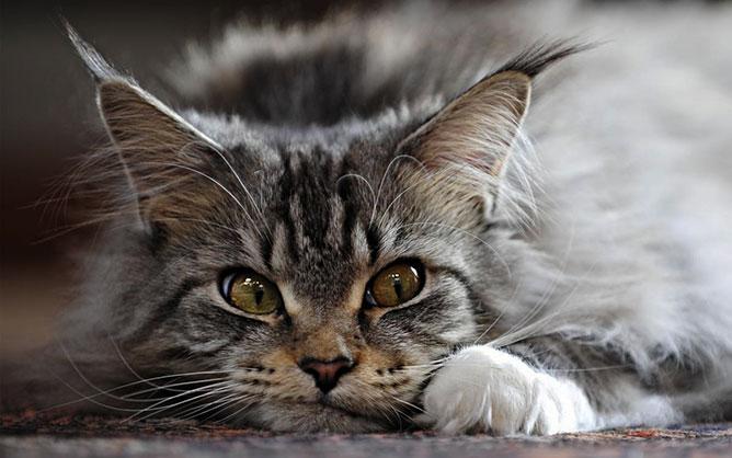Cirmos macska.
