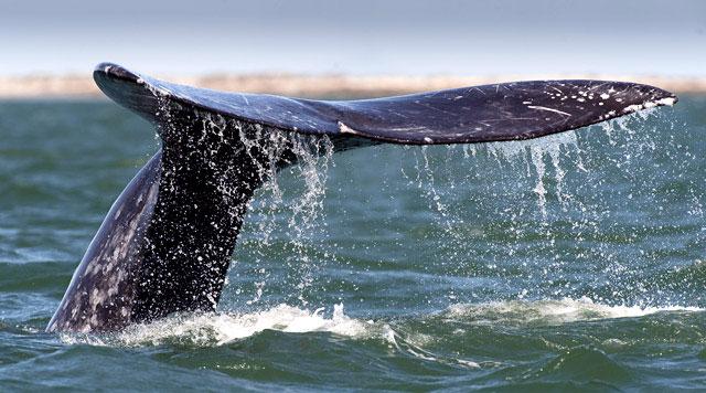 bálna.