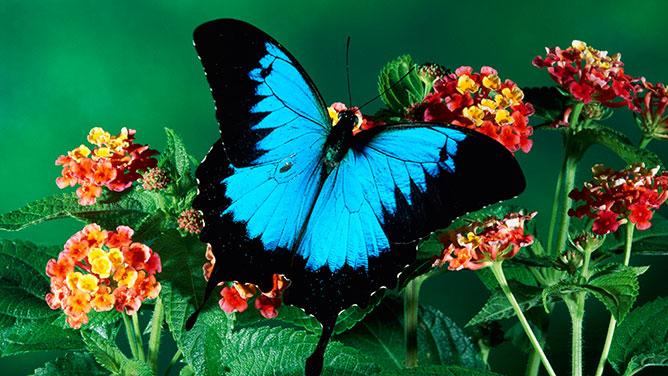 pillangó.