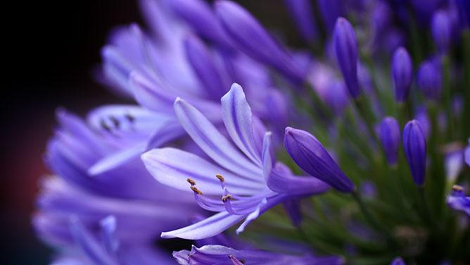 kék harangvirág.