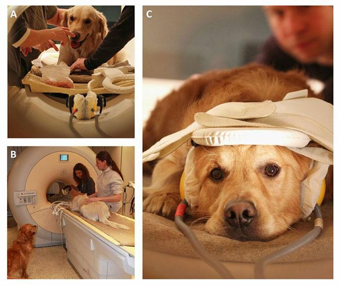 kutyák agyműködésének vizsgálata.