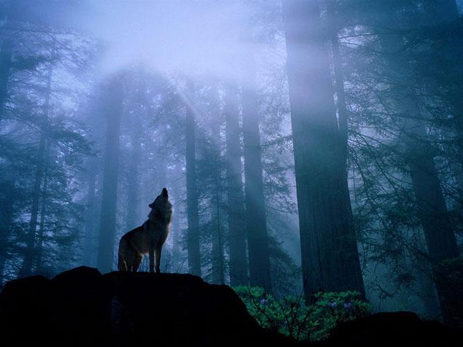 Farkas az erdőben.