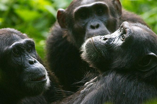 csimpánzok.