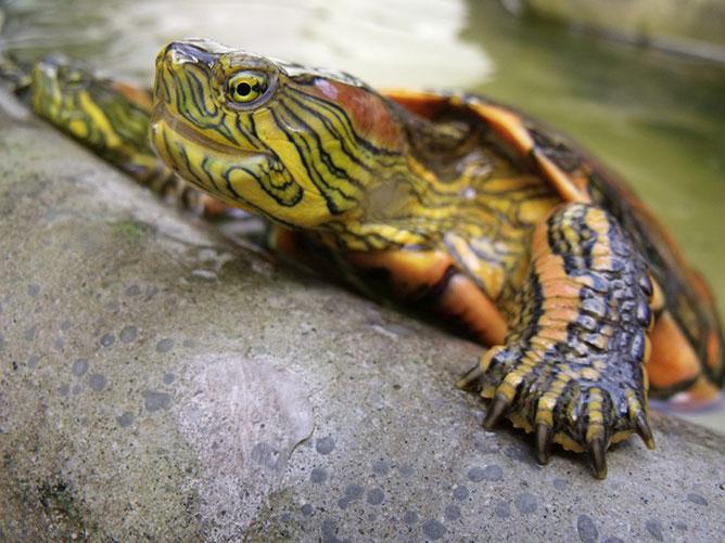 teknős.