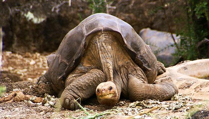 galápagosi óriásteknős.
