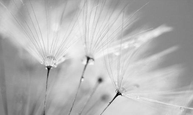 dandelion.