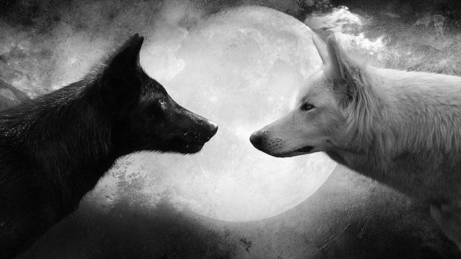 fehér és fekete farkas.
