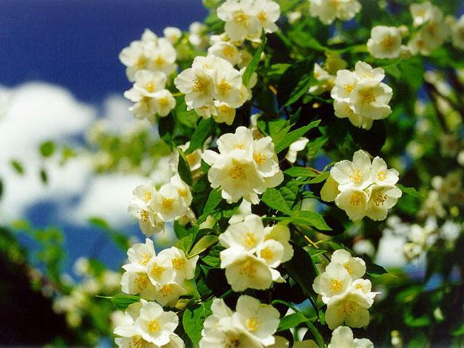 Virágzó jázmin.