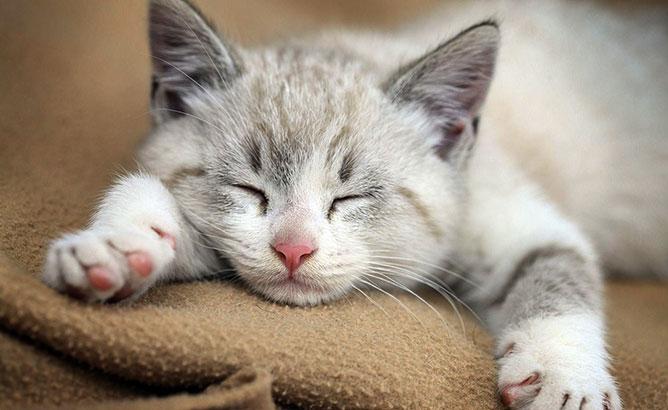 Alvó cica.