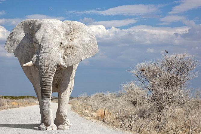 Fehér elefánt.