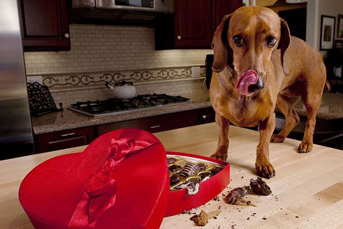 Kutya- csokoládé.
