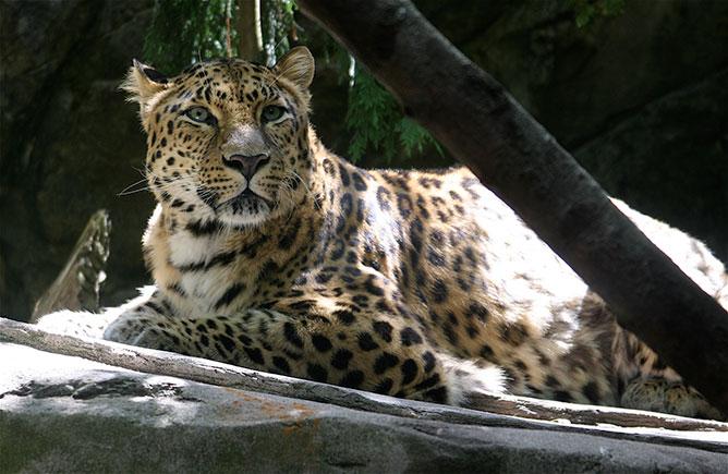amuri leopárd.