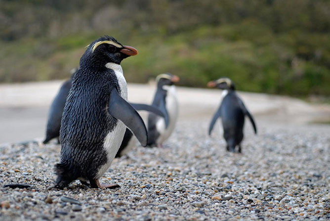fjordlandi pingvinek.